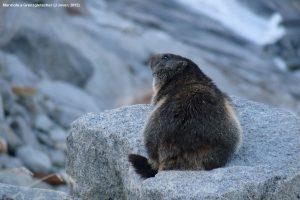 P47. Marmota a Grenzgletscher (J Jover, 2012)