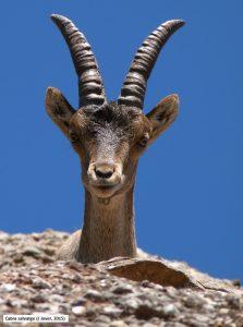 566-cabra-salvatge-j-jover-2015
